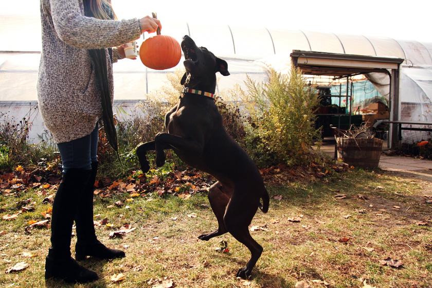 Pumpkin Picking with dog